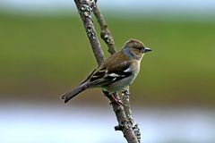 Female Chaffinch bird perched on branch Stock Photography