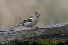 Female chaffinch. A female chaffinch perched on an old gate looking to the right with copy text space around Stock Image