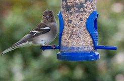 Female Chaffinch perched on Seed Feeder. Close up of a Female Chaffinch feeding on seeds from a blue garden bird feeder. Perched sideways but looking directly at Stock Images