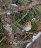 Female Chaffinch in a pine tree. A female Chaffinch (Fringilla coelebs) seeks refuge from the winter-cold inside the thicket of a pine tree at the spanish Royalty Free Stock Photo