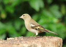 Female Chaffinch. Portrait of a female Chaffinch Stock Photo