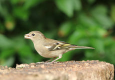 Female Chaffinch Royalty Free Stock Photo