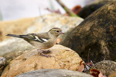 Female Chaffinch Royalty Free Stock Image