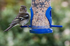 Female Chaffinch on Seed Feeder. Close up of a Female Chaffinch feeding on seeds from a blue garden bird feeder. Looking past the camera royalty free stock photo