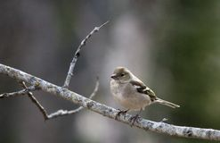 Female chaffinch. A female chaffinch sitting in tree Stock Photography