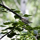 Female Chaffinch sitting on a tree branch. South Ural Stock Image