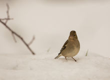 Female Chaffinch on the snow. A female Chaffinch stands on a snowed ground Royalty Free Stock Image