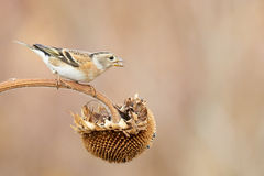 Female Chaffinch Royalty Free Stock Images