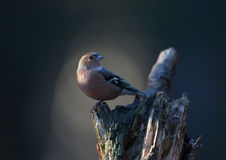 Female chaffinch on a tree Royalty Free Stock Images