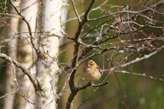 Female Chaffinch on a tree branch Stock Photos