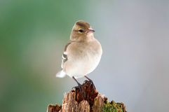 Female chaffinch on a tree stump Stock Photography