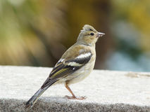 Female chaffinch on a wall. A young female chaffinch on a garden wall Royalty Free Stock Photos