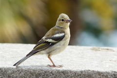 Female chaffinch on a wall royalty free stock photos