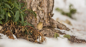Female Chaffinch in winter. A female Chaffinch (Fringilla coelebs) sits at the base of a huge pine tree in winter at the spanish Pyrenees Mountains Royalty Free Stock Image
