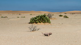 Female chamaleon in the Namib desert Royalty Free Stock Photos