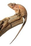 Female chameleon Royalty Free Stock Images