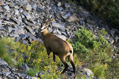 Female chamois. A female chamois in the Ecrins national park in the French alps stock images