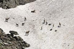 Female chamois and kids in Spring. France Stock Photo