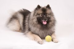 Female Champion Keeshond Stock Image