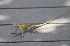 Female Changeable lizard Royalty Free Stock Image