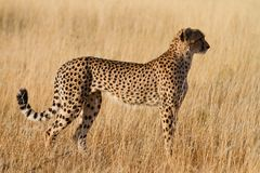 Female cheetah Royalty Free Stock Photography