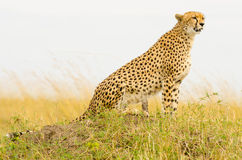 Female Cheetah. A beautiful, amber-eyed,  female cheetah from the Masai Mara in Kenya. Sitting on an old termite mound looking for prey Stock Image