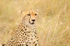 Female Cheetah. Portrait of a female cheetah on the plains of the Masai Mara Stock Photos