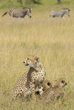Female Cheetah (Acinonyx jubatus) with cubs South Africa Royalty Free Stock Images