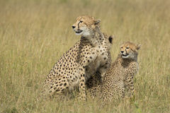 Female Cheetah (Acinonyx jubatus) with cubs South Africa Stock Image