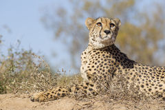 Female Cheetah (Acinonyx jubatus) lying on a termite mound, Sout Royalty Free Stock Photography