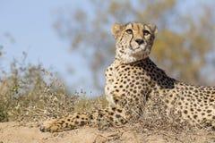 Female Cheetah (Acinonyx jubatus) lying on a termite mound, Sout royalty free stock photography