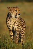 Female cheetah. The cheetah Acinonyx jubatus passing through the grassy knoll with green background Stock Photo