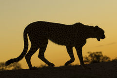 Female Cheetah (Acinonyx jubatus) South Africa Stock Photography