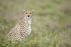 Female Cheetah (Acinonyx jubatus) in Tanzania Stock Photography