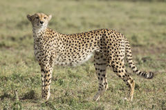 Female Cheetah (Acinonyx jubatus) in Tanzania Stock Images