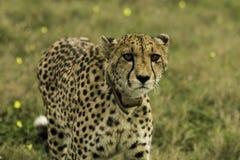 Female Cheetah Royalty Free Stock Photo
