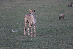 Female cheetah with cub in the wild maasai mara Royalty Free Stock Images