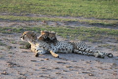 Female cheetah with cubs in the wild maasai mara Royalty Free Stock Photos