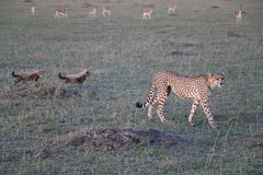 Female cheetah with cubs in the wild maasai mara Stock Photo