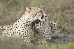 Female Cheetah with her cub (Acinonyx jubatus) in Tanzania Stock Photo