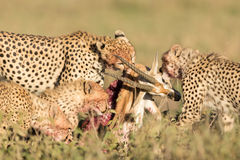 Female Cheetah with her 3 sub adult cubs, feeding on a Thompson' Gazelle Royalty Free Stock Images