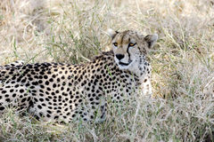 Cheetah in Africa Stock Photos