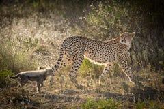 Female Cheetah with one cub, Ndutu, Serengeti, Tanzania. Female Cheetah with one cub, Ndutu, Serengeti National Park, Tanzania Stock Photos