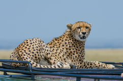 Female cheetah on roof. A female cheetah resting  on top of a safari vehicle Stock Images