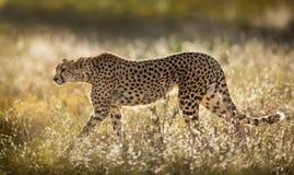 Female Cheetah in the Serengeti National Park in Tanzania. Female Cheetah in the Ndutu area of the Serengeti National Park in Tanzania Royalty Free Stock Image