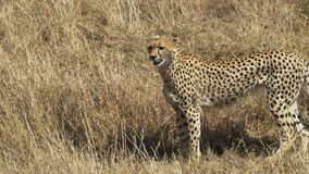 A female cheetah walking and facing to the left in Masai Mara Game Reserve