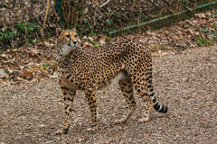 Female cheetah walking Stock Photo