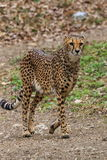 Female cheetah walking Royalty Free Stock Image