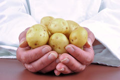 Female chef holding young potatoes Royalty Free Stock Images