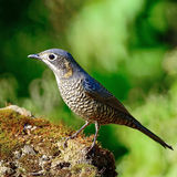 Female Chestnut-bellied Rock-Thrush Royalty Free Stock Photography